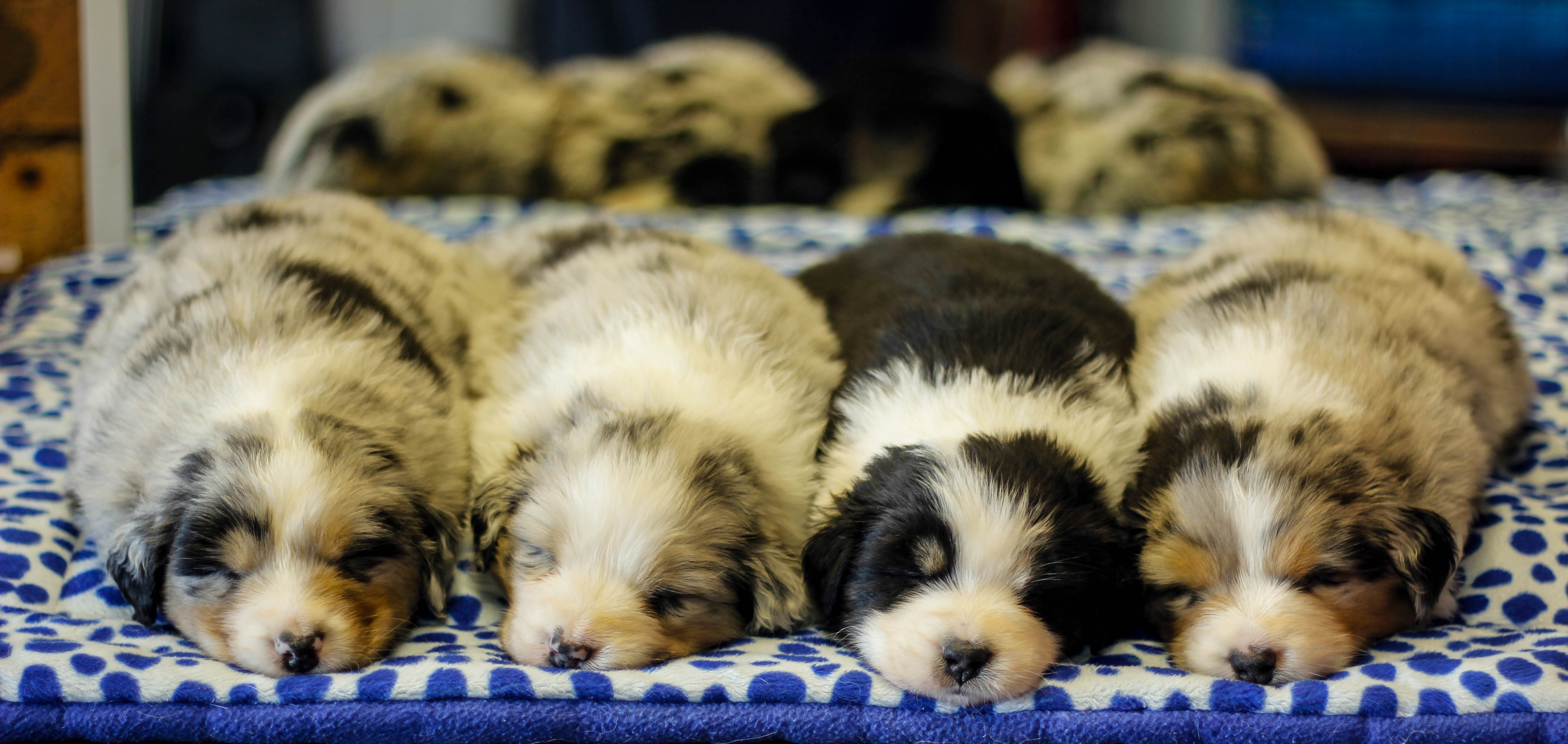 Blueamble Australian Shepherds – Bathurst and Raymond