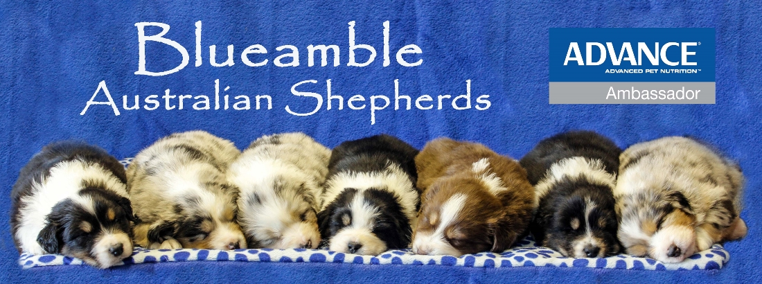 Blueamble Australian Shepherds